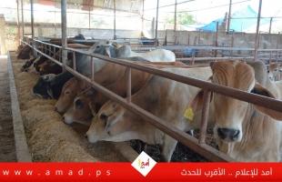 """عشية عيد الأضحى في غزة:  """"كساد"""" يضرب مزارع المواشي -  بالصور والفيديو"""