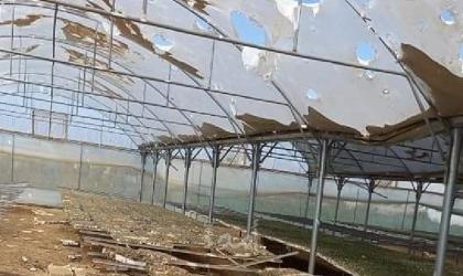 تنفيذ مبادرة لجني محصول الجوافة في جنوب قطاع غزة